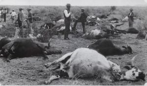 "RINDERPEST 1895-96 (Photo from Dr. Charles Waghorn's talk ""A Veterinary History of this country - 1890s to the Present"")"